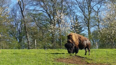 Basler Jura Bisons